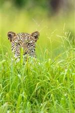 Preview iPhone wallpaper Leopard hidden in the grass, Africa, the green season
