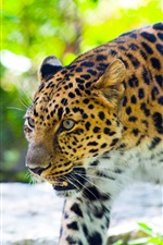 Preview iPhone wallpaper Leopard predation, forest