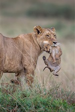 Preview iPhone wallpaper Lioness with cubs, wildlife