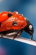 iPhone обои Макро насекомые, божья коровка, капли росы