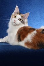 Preview iPhone wallpaper Maine Coon cat, white brown, blue background