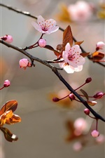 Preview iPhone wallpaper Pink cherry flowers bloom, leaves, nature, blur background