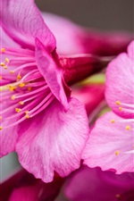 Preview iPhone wallpaper Pink flowers close-up, petals