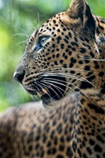 Preview iPhone wallpaper Predator, leopard, animal, bokeh