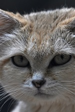 Preview iPhone wallpaper Sand-dune cat, eyes, face, black background