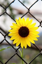 Yellow flower, iron fence