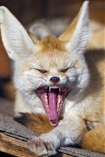 Animals close-up, fox, yawns
