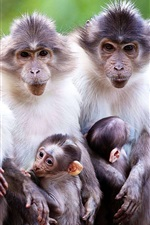 Preview iPhone wallpaper Animals family, monkey, mother, baby