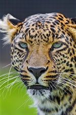 Preview iPhone wallpaper Animals, leopard, predator, face, green eyes