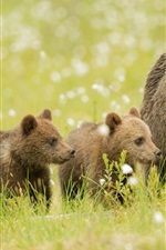 Preview iPhone wallpaper Bears, brown, meadow, bear cubs, family