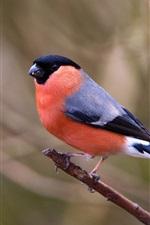Preview iPhone wallpaper Bird close-up, bullfinch, branches