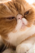 Preview iPhone wallpaper Cat attractive face, bokeh