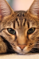 Cat lying down, face, eyes