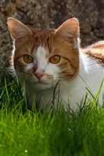 Preview iPhone wallpaper Cute cat, grass, white brown