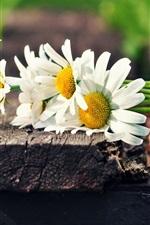 Daisies flowers, white petals
