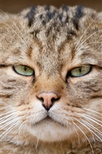 Preview iPhone wallpaper European cat, wild cat, eyes, face