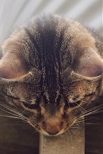 Preview iPhone wallpaper Gray striped cat, curiosity