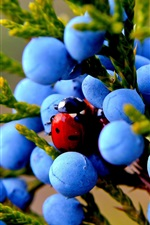 Preview iPhone wallpaper Juniper, blue berries, insect, ladybug