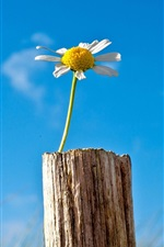 Preview iPhone wallpaper Lonely flower, chamomile, sky, blue, tree stump