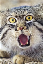 Preview iPhone wallpaper Pallas's cat, face, front view