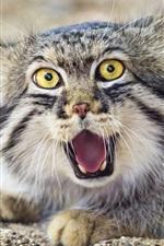 Gato, cara, vista frontal do Pallas