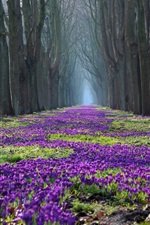 Preview iPhone wallpaper Park spring landscape, trees, flowers, crocus, path