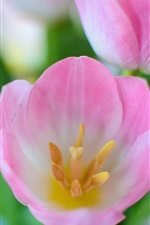 Preview iPhone wallpaper Pink tulip flowers macro, nature spring