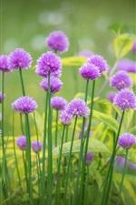 iPhone обои Фиолетовые цветы цветение, трава, весна