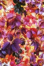 미리보기 iPhone 배경 화면 빨간색 배경, 가을 단풍