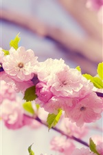 Preview iPhone wallpaper Sakura, pink flowers, petals, bloom, spring