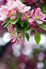 Preview iPhone wallpaper Spring, apple flowers, branch, bokeh