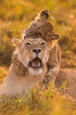 Preview iPhone wallpaper Summer, lioness, lion, game