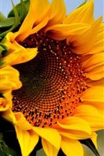 미리보기 iPhone 배경 화면 해바라기, 노란 꽃, 여름