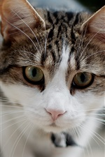 Preview iPhone wallpaper White gray cat, face, focus, mustache