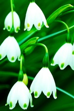 Preview iPhone wallpaper White snowdrops, green background
