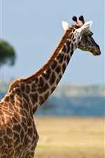 Preview iPhone wallpaper Africa wildlife, giraffes
