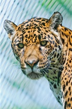 Preview iPhone wallpaper Animals close-up, jaguar, predators, look
