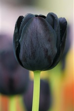 Preview iPhone wallpaper Black tulip flowers