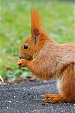 Preview iPhone wallpaper Cute animal, red squirrel, tail