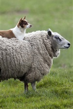 Dog and sheep in the meadow