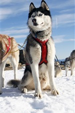 Preview iPhone wallpaper Dog sledding, snow, sky, cold