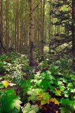Preview iPhone wallpaper Forest, trees, aspen, pine, sunlight, leaves