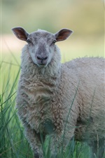 Preview iPhone wallpaper Gray sheep in the grass