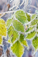 Preview iPhone wallpaper Green leaves, rime, snow, branch, frost