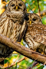 Preview iPhone wallpaper Mottled owl, couple, branches
