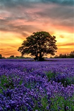 Preview iPhone wallpaper Purple lavender fields, scenery, sunset, flowers