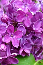 Preview iPhone wallpaper Purple lilac flowers branch, nature, spring
