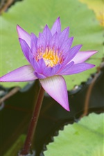 Preview iPhone wallpaper Purple water lily close-up, pond