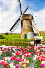 Preview iPhone wallpaper Red white flowers, tulips, spring, fields, windmill