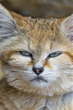Preview iPhone wallpaper Sand-dune cat, face close-up